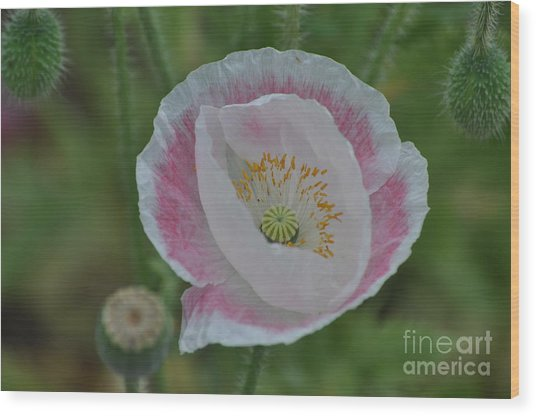 Pink And White Oriental Poppy Wood Print