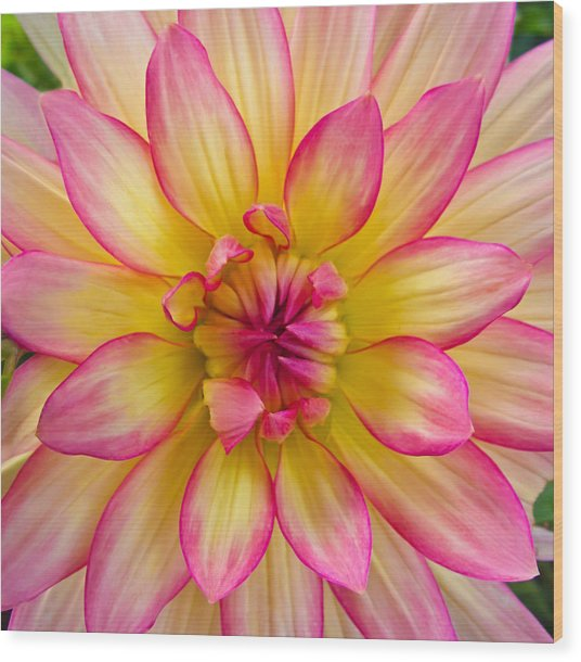 Pink And Yellow Dahlia Wood Print