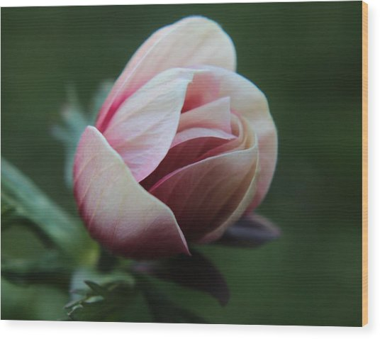 Pink Anemone Flower Bud Wood Print by Carol Welsh