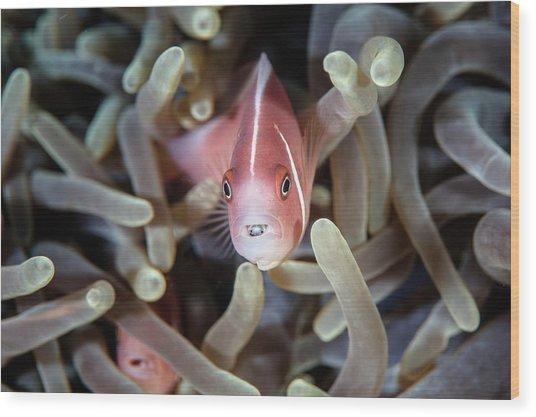 Pink Anemonefish And Tongue Parasite Wood Print