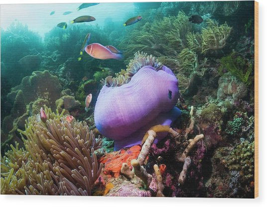 Pink Anemonefish With Magnificent Anemone Wood Print