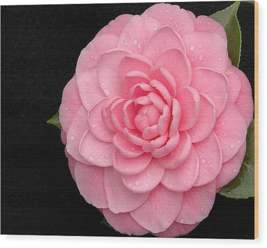 Pink Camellia After Rain Wood Print