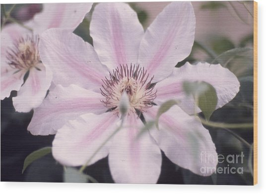 Pink Clematis 131  Wood Print by Stephen Parker