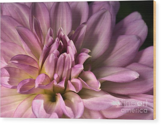 Pink Dahlia's Dream Wood Print