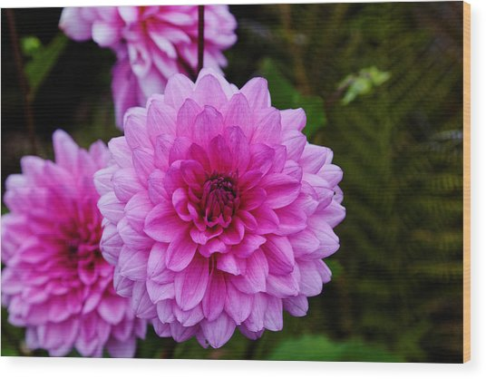 Pink Dahlias Wood Print