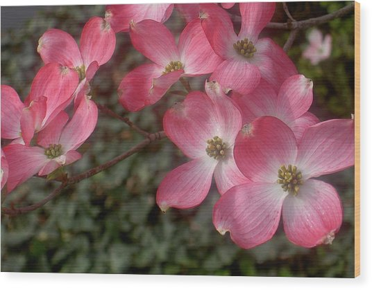 Pink Dogwood Delight Wood Print