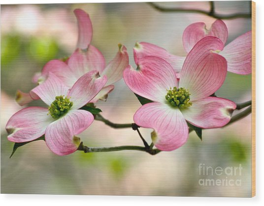 Pink Dogwood Splendor Wood Print