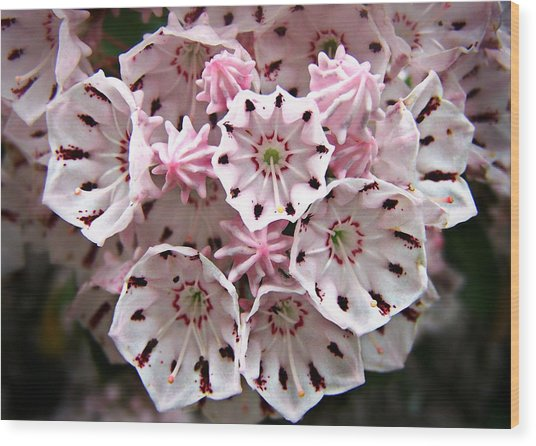 Pink Flowered Mountain Laurel Wood Print