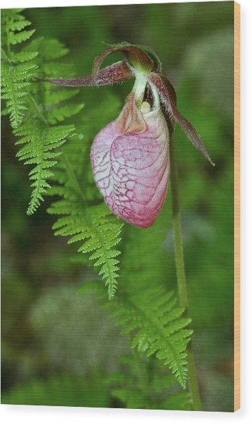 Pink Lady Slipper Wood Print
