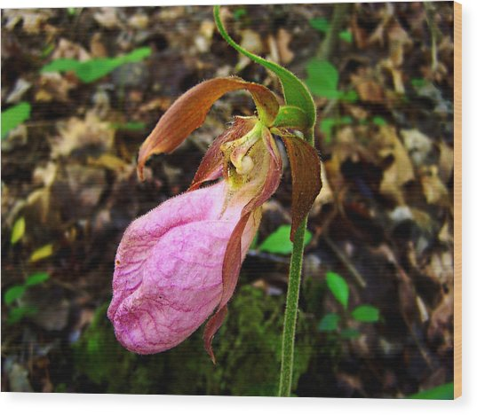 Pink Ladyslipper Orchid Wood Print