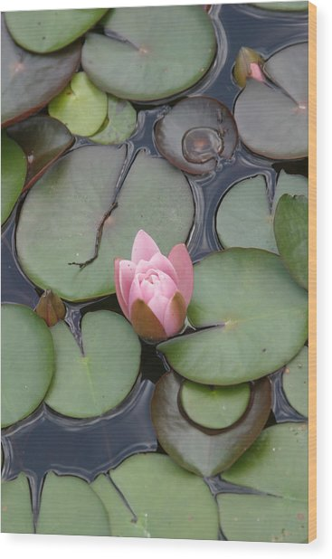 Pink Lilly Wood Print by Dervent Wiltshire