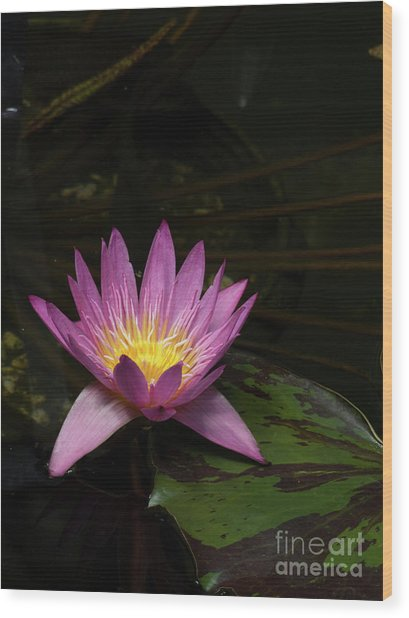 Pink Lotus Flower On Lily Pad Wood Print