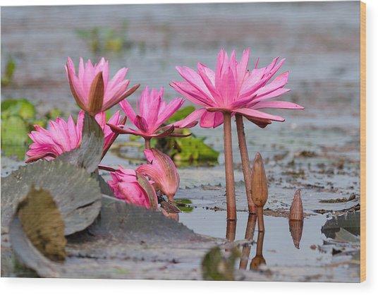 Pink Lotuses Wood Print