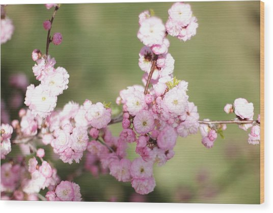 Pink Plum Branch On Green 2 Wood Print