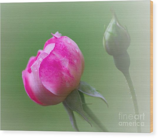 Pink Rose And Raindrops Wood Print