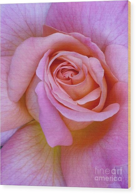 Pink Rose Close-up Wood Print