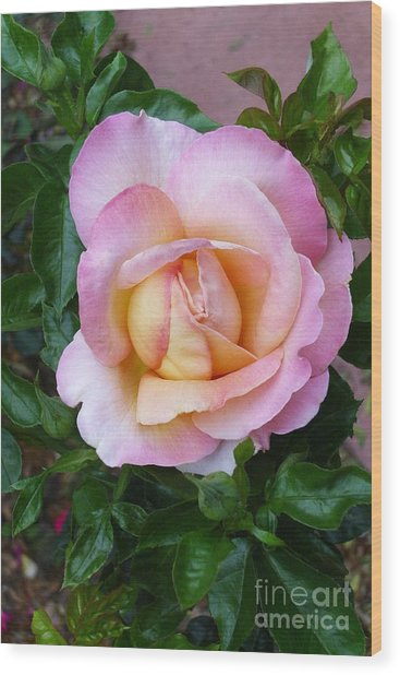 Pink Rose Flowering Wood Print