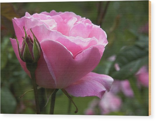 Pink Rose Wood Print by Terry Horstman