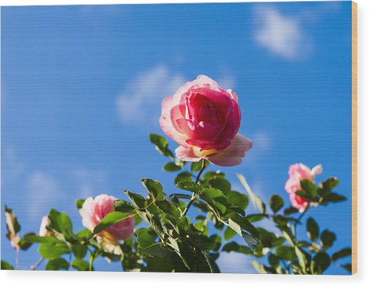 Pink Roses - Featured 3 Wood Print