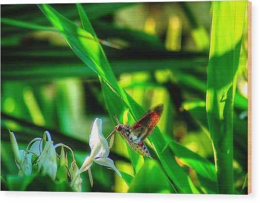 Pink Spotted Hawk Moth Wood Print