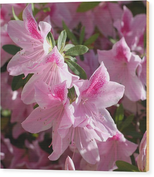 Pink Star Azaleas In Full Bloom Wood Print