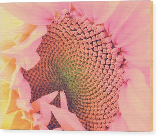 Pink Sunflower Wood Print