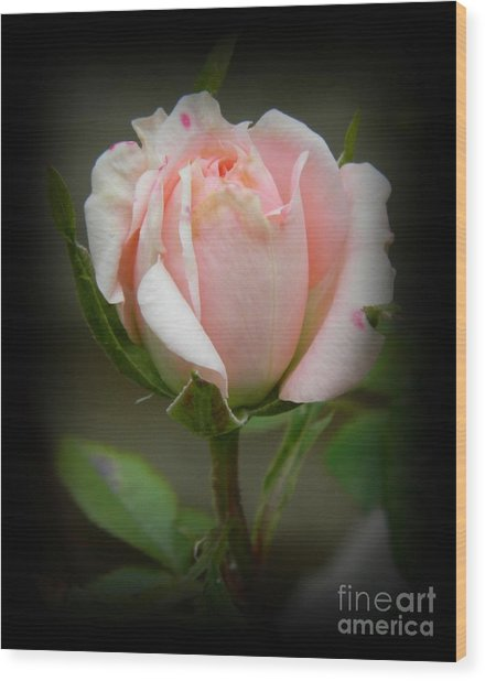 Pink Tea Rose Wood Print