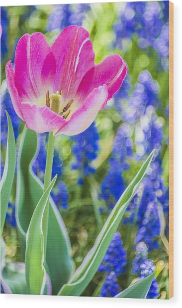 Pink Tulip Blue Backround Wood Print