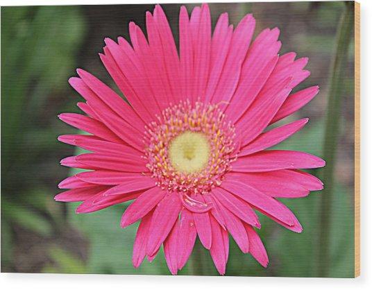 Pinks A Daisy Wood Print by Sarah E Kohara