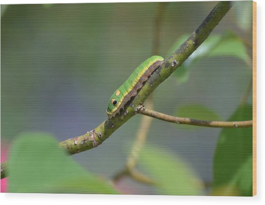 Pipevine Swallowtail Caterpillar Wood Print