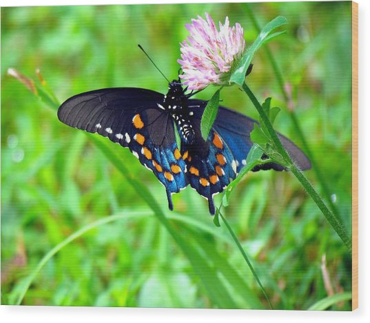 Pipevine Swallowtail Hanging On Wood Print