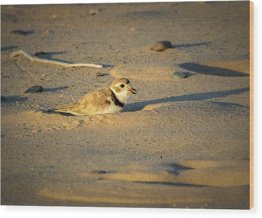 Piping Plover Adult Wood Print