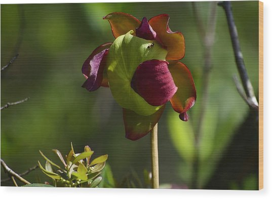 Pitcher Plant Flower 1 Wood Print