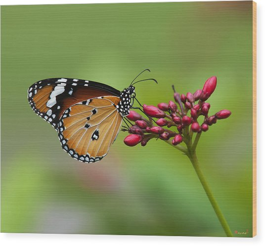 Plain Tiger Or African Monarch Butterfly Dthn0008 Wood Print