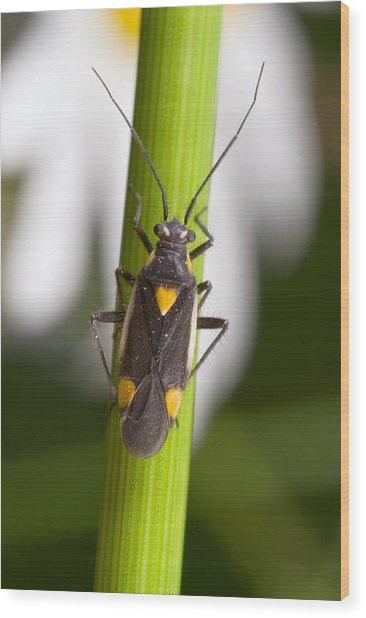 Plant Bug Wood Print by Science Photo Library