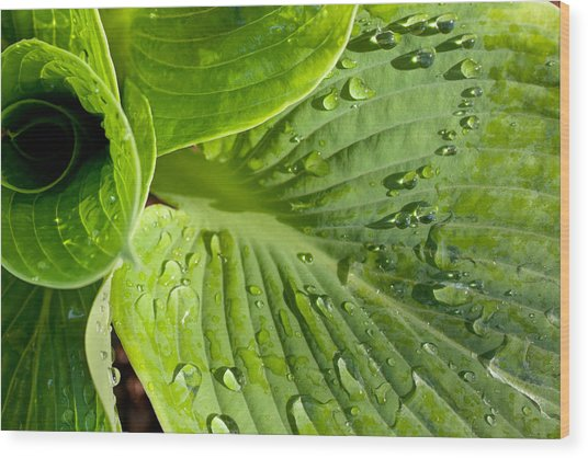 Plantain Lily Wood Print
