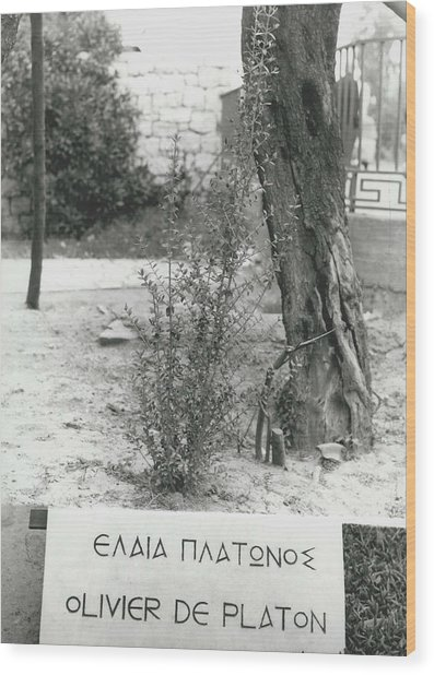 Plato�s Tree Wood Print by Retro Images Archive