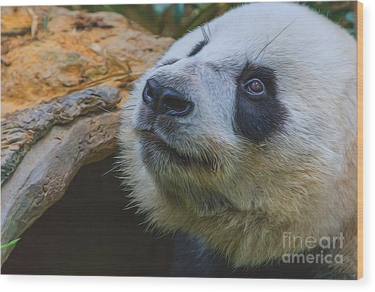 Pleading Panda Wood Print