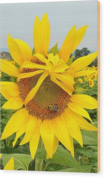 Pleading Sunflower Wood Print