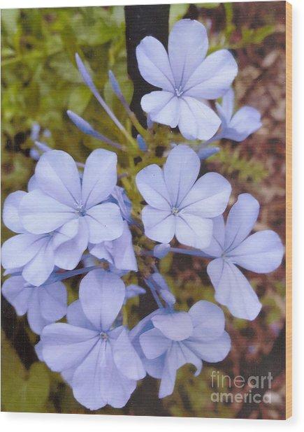 Plumbago Auriculata Or Cape Wort Wood Print
