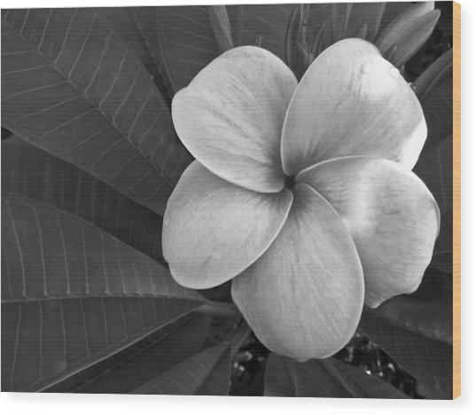 Plumeria With Raindrops Wood Print