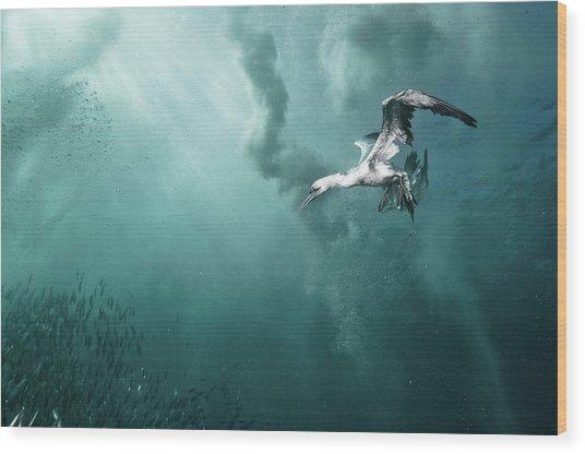 Plunge Diver Wood Print