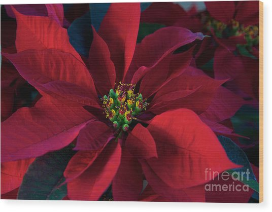 Poinsettia All Profits Go To Hospice Of The Calumet Area Wood Print
