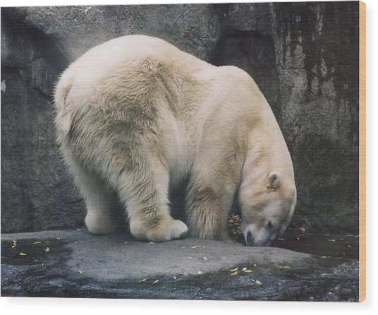 Polar Bear At Zoo Wood Print