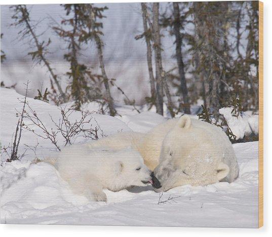 Polar Bear Cub Kisses Mother Wood Print