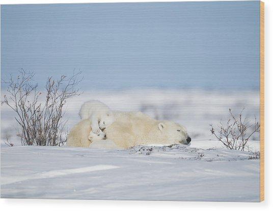 Polar Bear Cubs Play On Mothers Back Wood Print