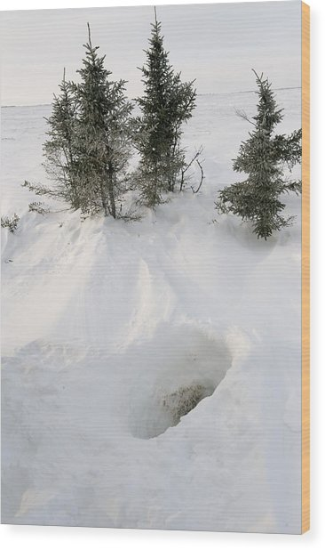Polar Bear Den Entrance Wood Print by Science Photo Library