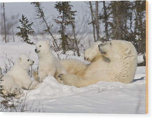 Polar Bear Family Playing In The Snow Wood Print