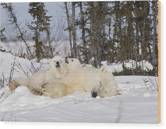 Polar Bear Family Resting Wood Print