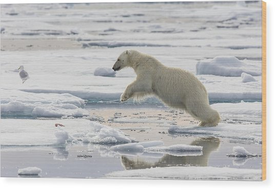 Polar Bear Jumping  Wood Print